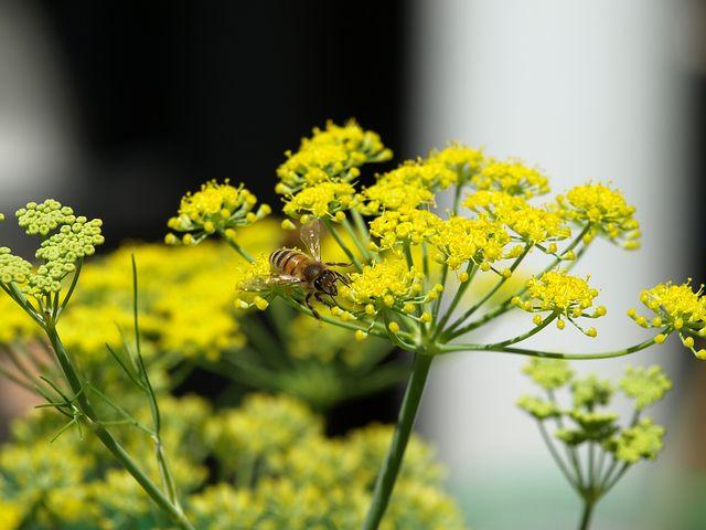 Bee, Fennel, Yellow, Flower