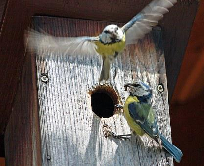 Nesting Box, Blue Tit, Food, Tit, Claws Out, Birds