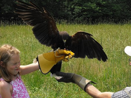 Hawk, Wings, Flying, Child, Glove, Nature, Buzzard