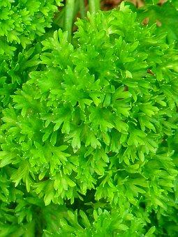 Parsley, Green, Spice, Herb Garden, Herbs, Beterli