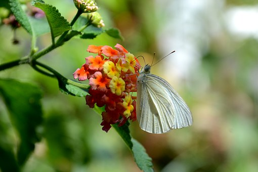 Butterfly, Flowers, Flower, Insects, Lepidoptera, Libar