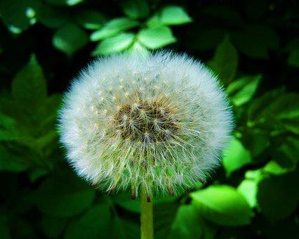 Levirágzott Dressing-gown Dandelion, Dandelion Seeds