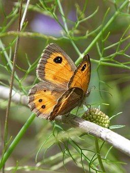 Lobito List, Butterfly, Orange, Pyronia Bathseba, Libar