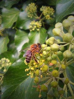 Bee, Sucking, Macro, Flower, Libar, Insects, Nectar