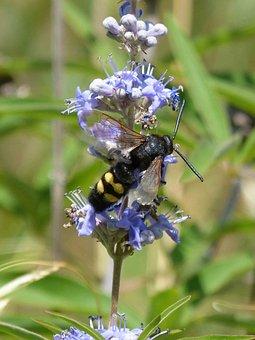 Hornet, Megascolia Maculata, Wild Flower, Libar