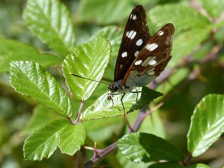Limenitis Reducta, Nymph Streams, Butterfly