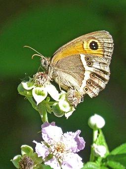 Lobito List, Blackberry, Butterfly