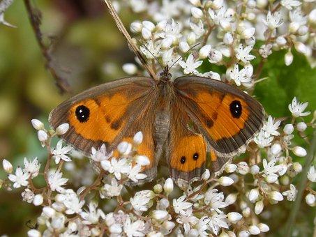 Lobito List, Butterfly, Wild Flower