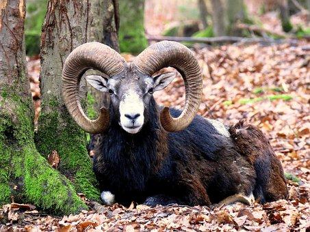 Mouflon, Male, Horns, Aries, Wild Animal, Paarhufer