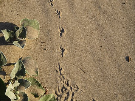 Footprint, Bird, Sand, Marks, Trail, Track, Claws