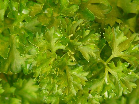 Parsley, Spice, Plant, Medicinal Plant, Spicy, Garden