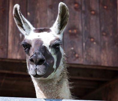 Lama, Camel, Paarhufer, Animal, Lama Head, Animal World