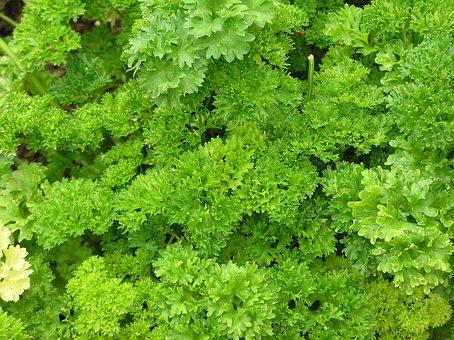 Parsley, Spice, Herbs, Herb, Plant, Cook, Food, Eat