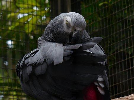 Parrot, Bird, Grey, African Grey Parrot, Clean, Plumage