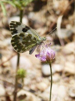 Butterfly, Pontia Daplidice, Pontia, Blanquiverdosa