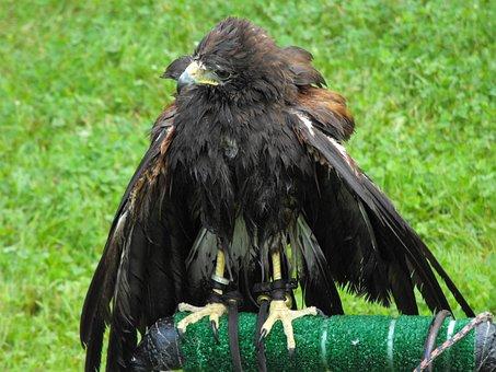 Hawk, Prey, Falcon, Predator, Feathered, Buzzard