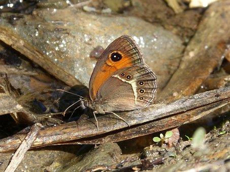 Pyronia Bathseba, Butterfly, Lobito List
