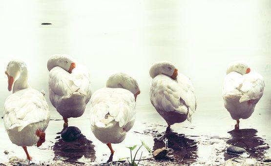 Geese, Sleeping Birds, Swan, Wildlife Photography