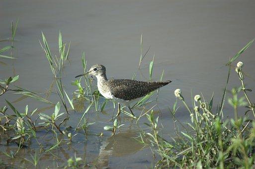 Solitary Sandpiper, Bird, Llanos, Venezuela, Animal