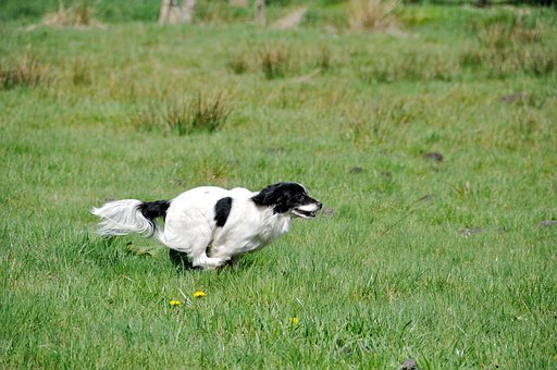 Dog, Small Dog, Race, Fast Continuously, Meadow, Sprint
