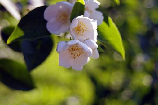White Flowers, Cream, The Sweet Smell Of, Jasmine