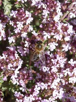 Bee, Libar, Thyme, Thyme Honey, Pollen