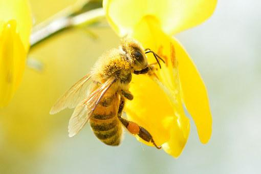 Bee, Was The Most, Blossom, Bloom, Honey Bee, Insect
