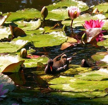 Water Lilies, Lilies, Water, Pond, Monet Garden, Nature