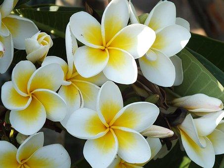 Plumeria, Red Jasmine, White, Flower, Tropical Plants
