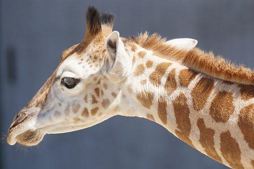 Giraffe, Young Animal, Ruminant, Paarhufer