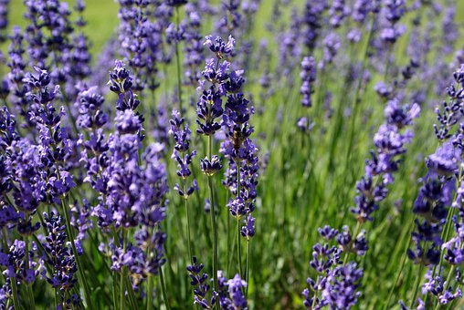 Lavender, Flower, Summer, Bee, Herb, Aromatherapy