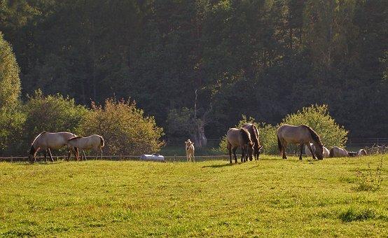 Horses, As The Undomesticated Tarpan, Mite