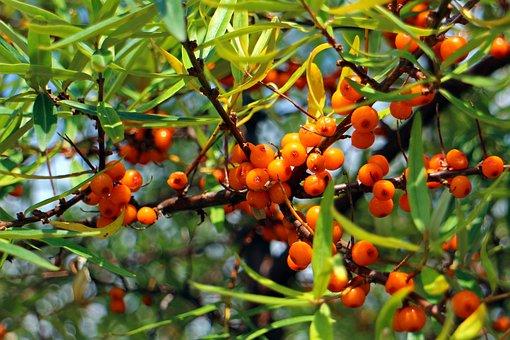 Sea Buckthorn, Fruits, Berries, Orange, Red, Bush