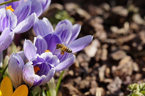 Pollen, Bee, Collect Pollen, Pollination, Crocus