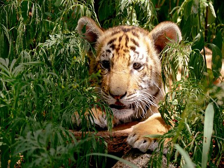 Tiger, Cub, Hiding, Concealed, Hideout, Leafy Orange