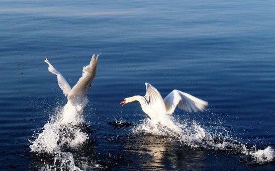 Swans, Departure, Start, Dispute, Attack, Water