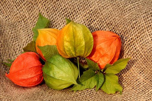 Physalis, Flower, Plant, Autumn, Lanterns, Orange