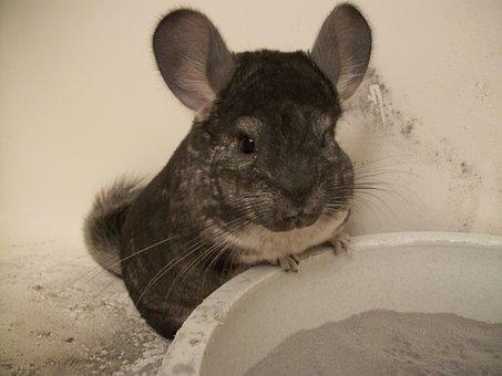 Chinchilla, Grey, Gray, Standard, Pets, Mammal