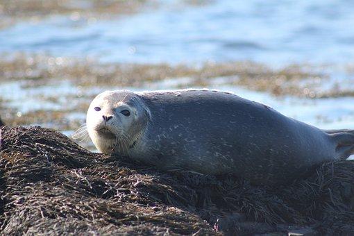 Seal, Harbor, Maritimes, Ocean, Wildlife, Marine
