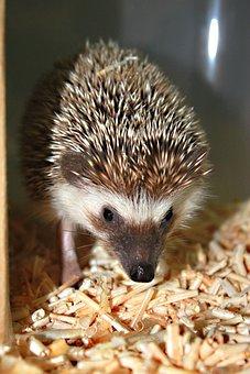 Hedgehog, Animal, Cute, Standard, Lovely, Pet, Biology