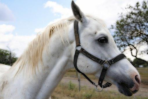 Horse, Mane, Horses, Horseback Riding, Trotter