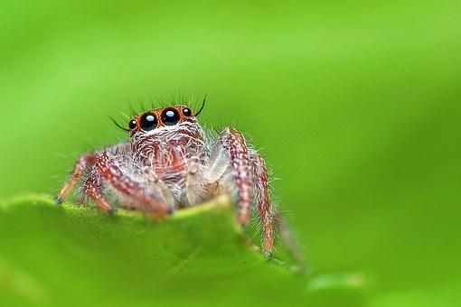 Jumping Spider, Spider, Macro, Nature, Animal, Insect