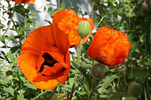 Poppies, Garden, Red, Nature, Macro, Flower, Summer
