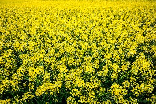 Field, Flower, Green, Land, Lot, Nature, Plants, Rape