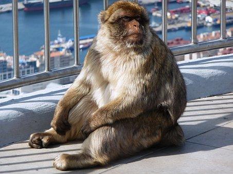 Macaque, Makakhane, Monkey, Aphane, Rock Of Gibraltar