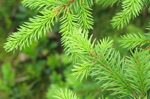 Norrbotten, Spruce Twigs, Forest