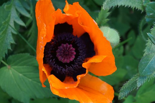 Poppy, Garden, Red, Nature, Macro, Flower, Summer