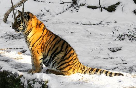 Tiger, Tiger Cub, Big Cat, Young Animal, Nuremberg