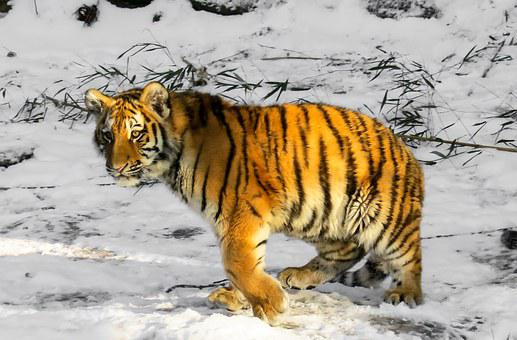 Tiger, Tiger Cub, Cat, Young Animal, Nuremberg, Wild