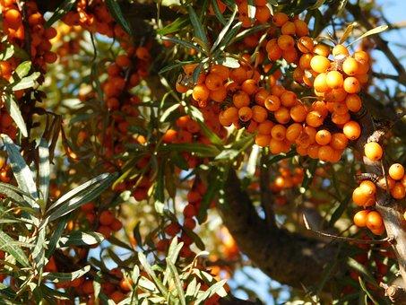 Sea Buckthorn, Vitamins, Wild Shrub, Wild Fruit